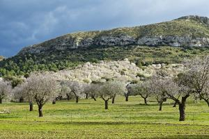 Blooming Almond Trees by Norbert Schaefer