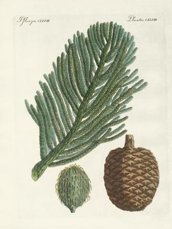 https://imgc.allpostersimages.com/img/posters/norfolk-island-pine_u-L-PVQH5T0.jpg?p=0