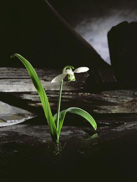 Snowdrop / Slate, 1995 by Norman Hollands