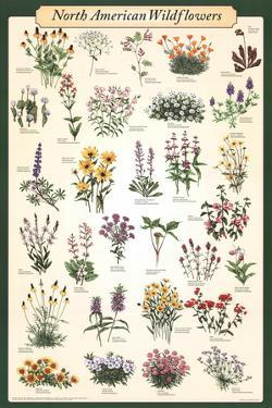 North American Wildflowers Educational Science Chart Poster