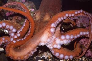 North Pacific Giant Octopus Showing Suckers