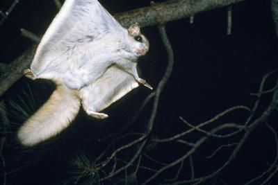 https://imgc.allpostersimages.com/img/posters/northern-flying-squirrel-flying_u-L-Q105VD30.jpg?p=0