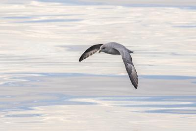 https://imgc.allpostersimages.com/img/posters/northern-fulmar-over-the-coast-of-southern-greenland_u-L-Q1CZPXD0.jpg?artPerspective=n