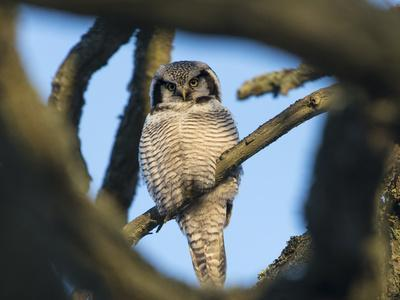 https://imgc.allpostersimages.com/img/posters/northern-hawk-owl-surnia-ulula-seen-through-branches-southwest-finland-february_u-L-Q13ABPE0.jpg?p=0