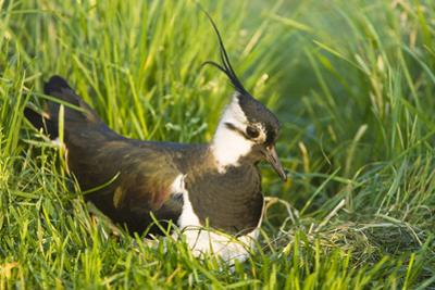 Northern Lapwing Male on Nest