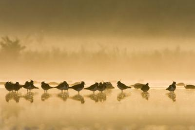 Northern Lapwing Waterlevel Silhouette of Birds