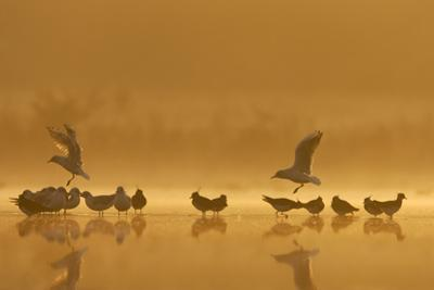 Northern Lapwings and Black-Headed Gulls