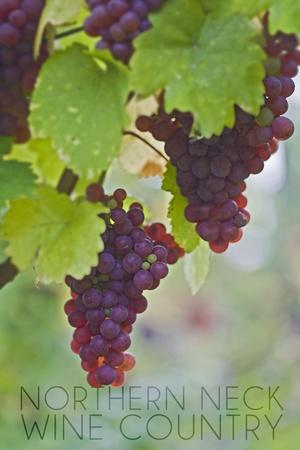 https://imgc.allpostersimages.com/img/posters/northern-neck-virginia-grapes-on-vine_u-L-Q1GQMQZ0.jpg?p=0