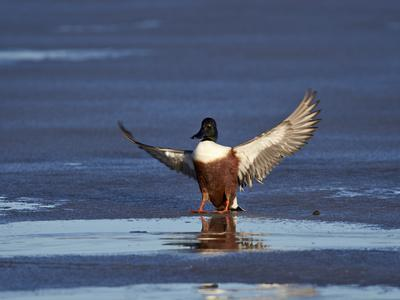 https://imgc.allpostersimages.com/img/posters/northern-shoveler-anas-clypeata-male-landing-on-a-frozen-pond-in-the-winter_u-L-PWFBBC0.jpg?p=0