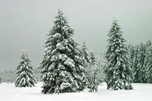 Norway Spruce in Heavy Snow