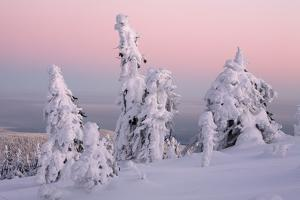 Norway Spruce Trees Covered in Snow and Ice