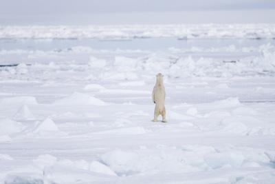 https://imgc.allpostersimages.com/img/posters/norway-svalbard-pack-ice-polar-bear-standing_u-L-Q13BKHY0.jpg?p=0