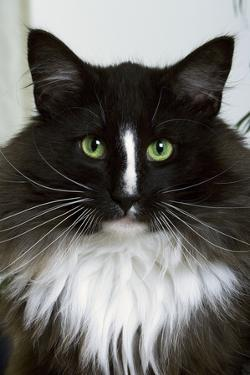 Norwegian Forest Black and White
