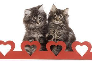 Norwegian Forest Kitten Sitting Behind Cut Out Hearts