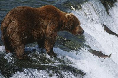 Brown Bear Grizzly Bear Looking at Salmon Katmai National Park Alaska Usa.