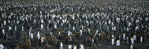 Large Colony of Penguins by Nosnibor137
