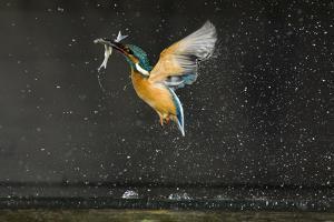 Kingfisher (Alcedo Atthis) in Flight Carrying Fish, Balatonfuzfo, Hungary, January 2009 by Novák