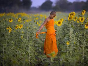 Novice Buddhist Monk Makes His Way Through a Field of Sunflowers as 10,000 Gather, Thailand