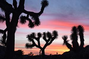 Sunset over a Joshua Tree in the Queen Valley in Joshua Tree National Park, Twentynine Palms, Ca by NPS Photo