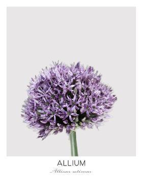 Allium by NUADA