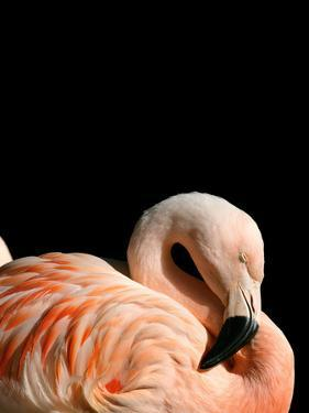 Sleeping Flamingo by NUADA
