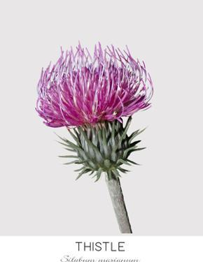 Thistle by NUADA