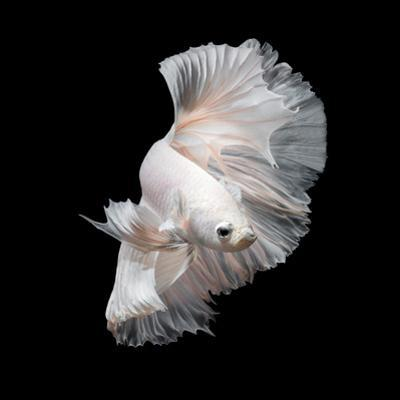 Betta Fish,Siamese Fighting Fish in Movement Isolated on Black Background. by Nuamfolio