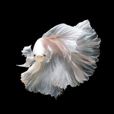 Close up of White Platinum Betta Fish or Siamese Fighting Fish in Movement Isolated on Black Backgr by Nuamfolio