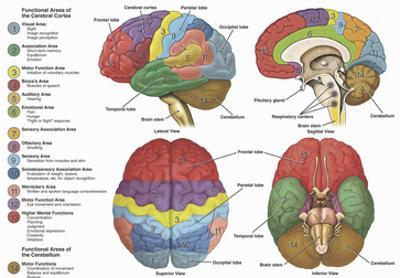 Brain from Four Different Views Using Color-Coding to Show the Anatomy and Functional Areas by Nucleus Medical Art