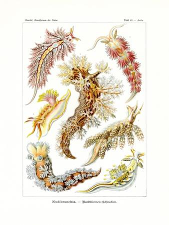 Nudibranchia, 1899-1904