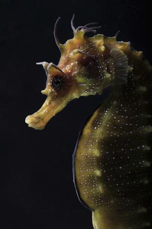 Long Snouted Seahorse (Hippocampus Guttulatus)