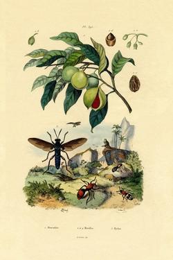 Nutmeg, 1833-39