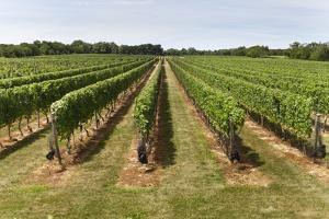 Vineyard in the Hamptons by Nycretoucher