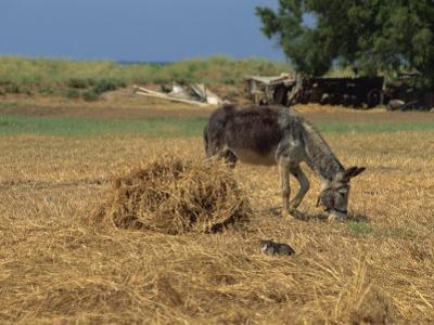 Donkey and Cat, Kastelli, Chania District, Crete, Greek Islands, Greece, Europe