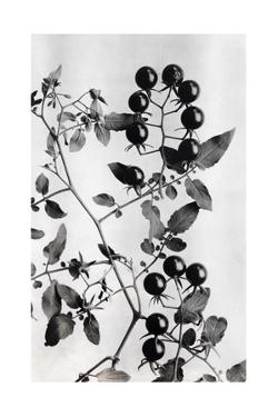 Close View of the Peruvian Tree Tomato and its Blossoms and Leaves by O. F. Cook