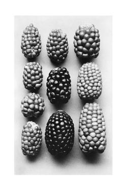 Varieties of Pigmy Corn Grown at an Elevation of 13,000 Feet by O. F. Cook