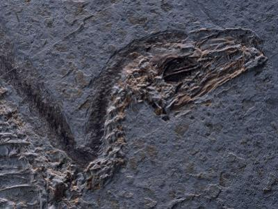 Detail of Fossil Head (Sinosauropteryx Prima), 120 Million Years Old, Evolution of Birds, China