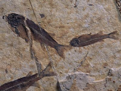 Fish Fossils Found at Sihetun, Liaoning Province, China