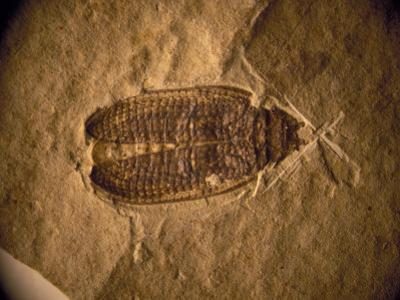 Fossil Beetle Found at Sihetun, China
