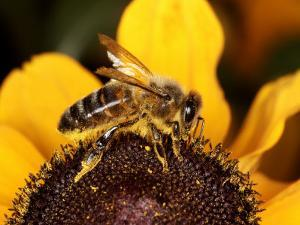 Honey Bee, Worker Bee on Flower, UK by O'toole Peter