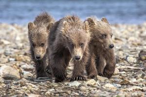 Three brown bear cubs, Alaska by OAG Q Wolfe