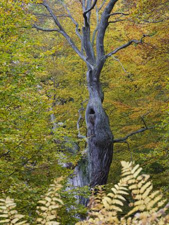 https://imgc.allpostersimages.com/img/posters/oak-in-autumn-urwald-sababurg-reinhardswald-hessia-germany_u-L-Q1EXYQW0.jpg?artPerspective=n