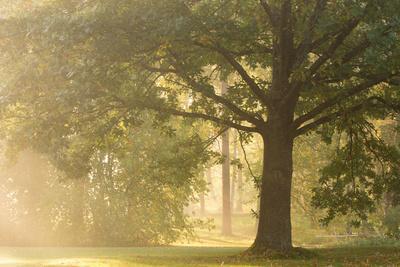 https://imgc.allpostersimages.com/img/posters/oak-tree-in-sunny-misty-morning_u-L-Q1EXXG80.jpg?artPerspective=n
