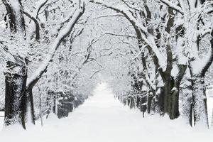 Oak Trees Avenue in Winter Snow