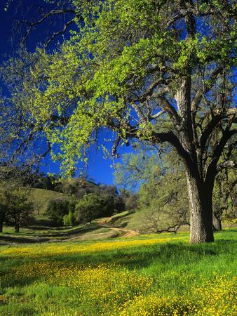 https://imgc.allpostersimages.com/img/posters/oaks-and-flowers-california-usa_u-L-PXQMZK0.jpg?p=0