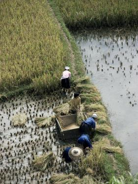 Harvesteing Rice, South Guizhou, China by Occidor Ltd