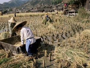 Rice Being Cut and Threshed, Guizhou Province, China by Occidor Ltd