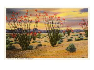Ocotillo Blooming in Desert