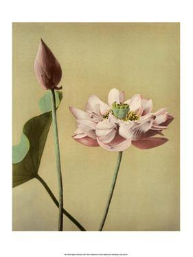 Lotus Flower, Vintage Japanese Photography by Ogawa Kasamase