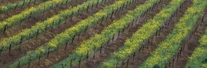 Oilseed rape with grape vines in a vineyard